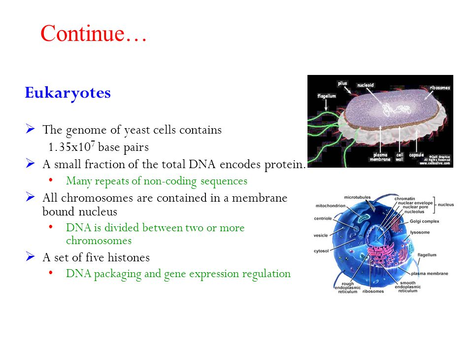 Continue… Eukaryotes The genome of yeast cells contains