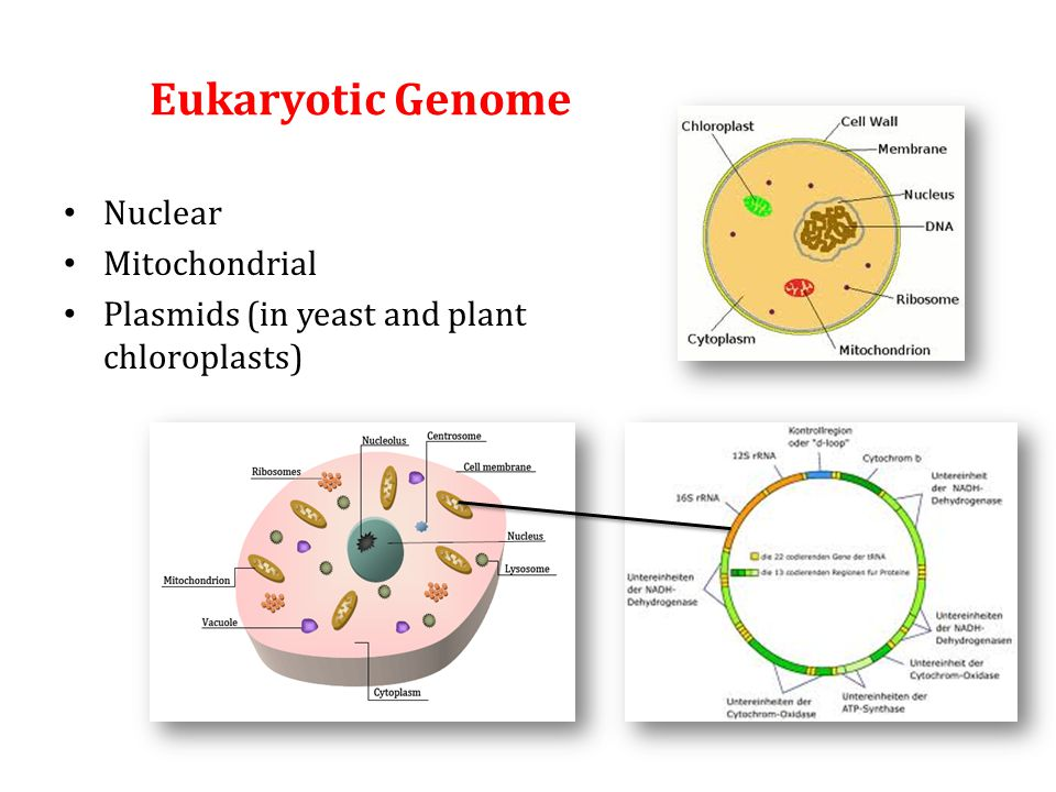 Eukaryotic Genome Nuclear Mitochondrial