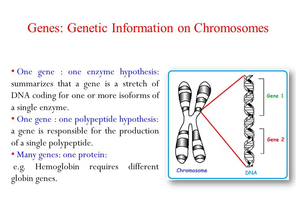Genes: Genetic Information on Chromosomes