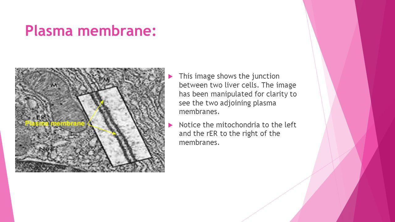 Plasma membrane: