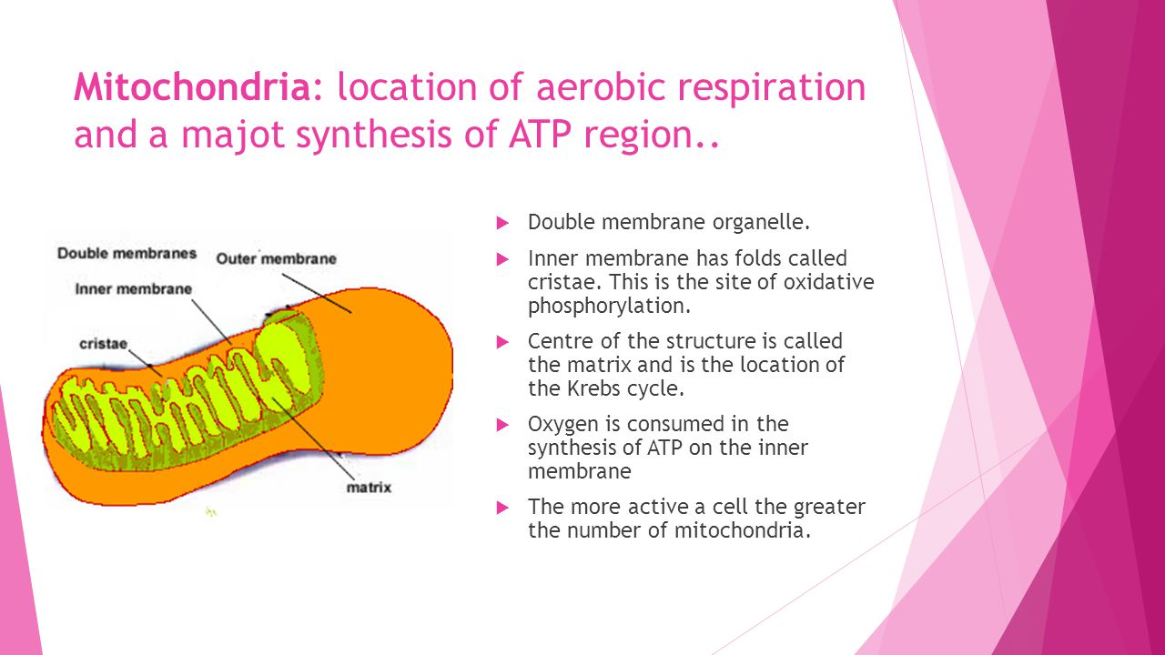 Mitochondria: location of aerobic respiration and a majot synthesis of ATP region..