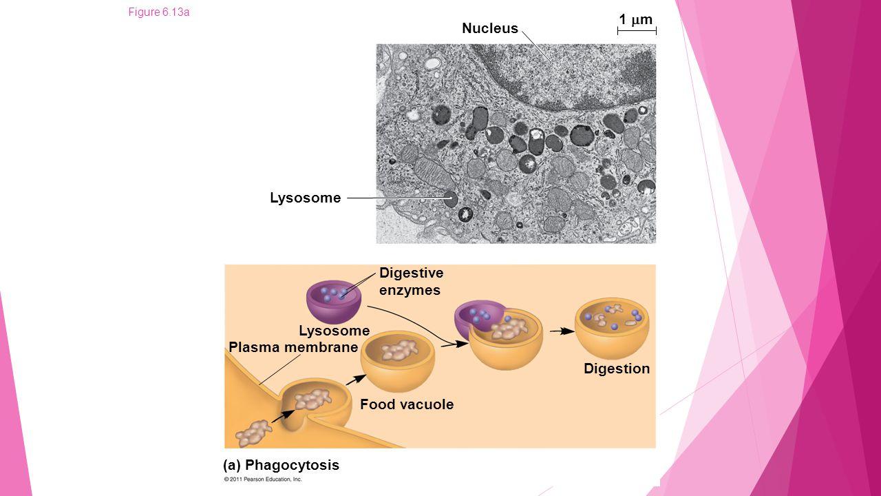 1 m Nucleus Lysosome Digestive enzymes Lysosome Plasma membrane