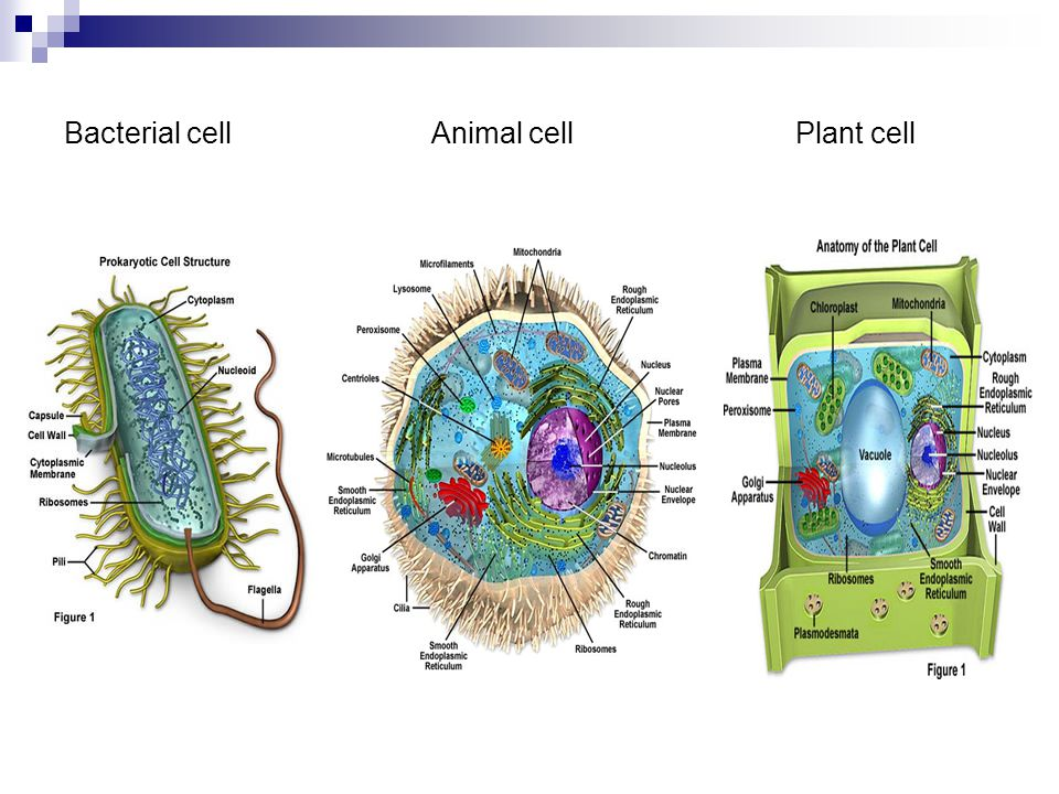 Bacterial cell Animal cell Plant cell