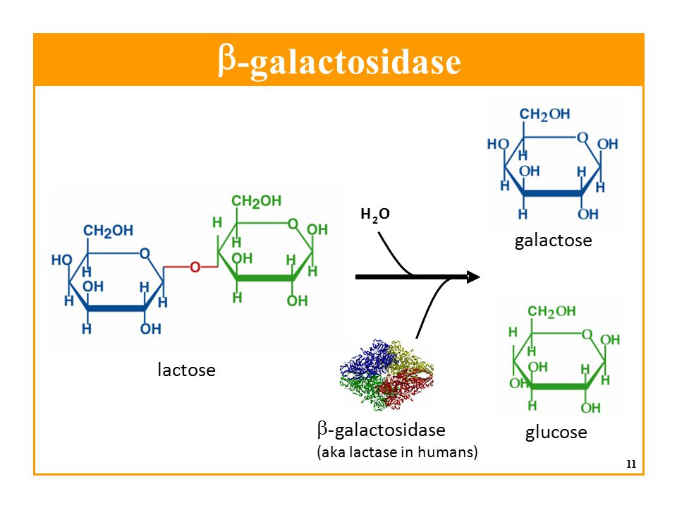 b - galactosidase galactose lactose b - galactosidase glucose H O