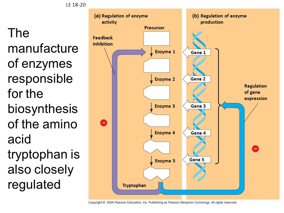 LE 18-20 Regulation of enzyme. activity. Regulation of enzyme. production.