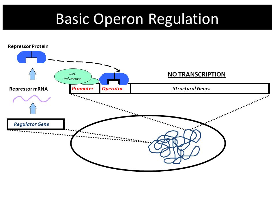 Basic Operon Regulation