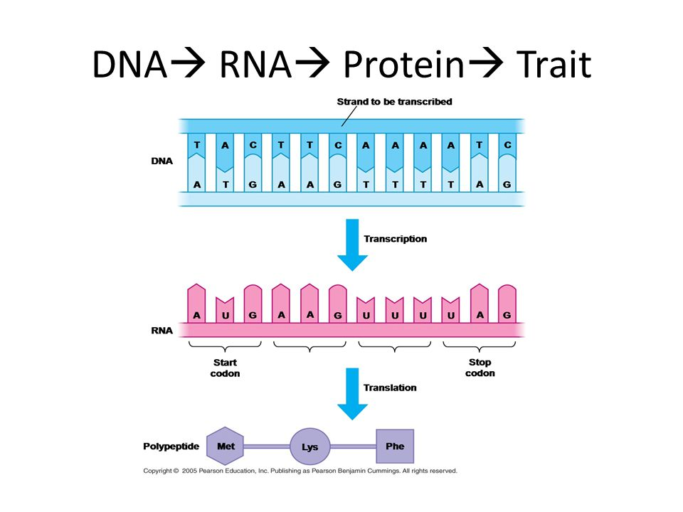 DNA RNA Protein Trait