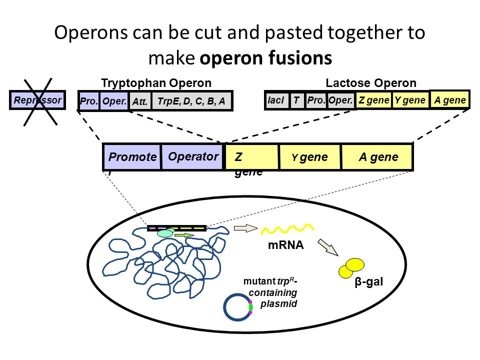 Operons can be cut and pasted together to make operon fusions