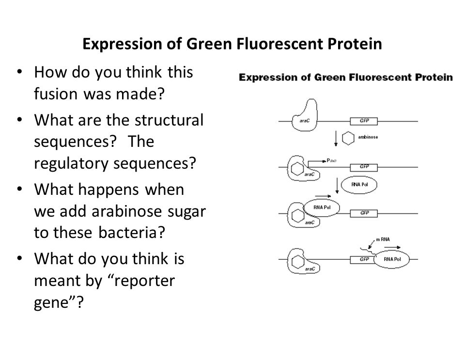 Expression of Green Fluorescent Protein