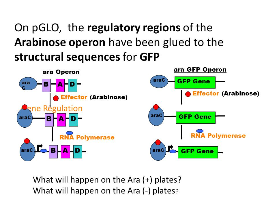 On pGLO, the regulatory regions of the Arabinose operon have been glued to the structural sequences for GFP