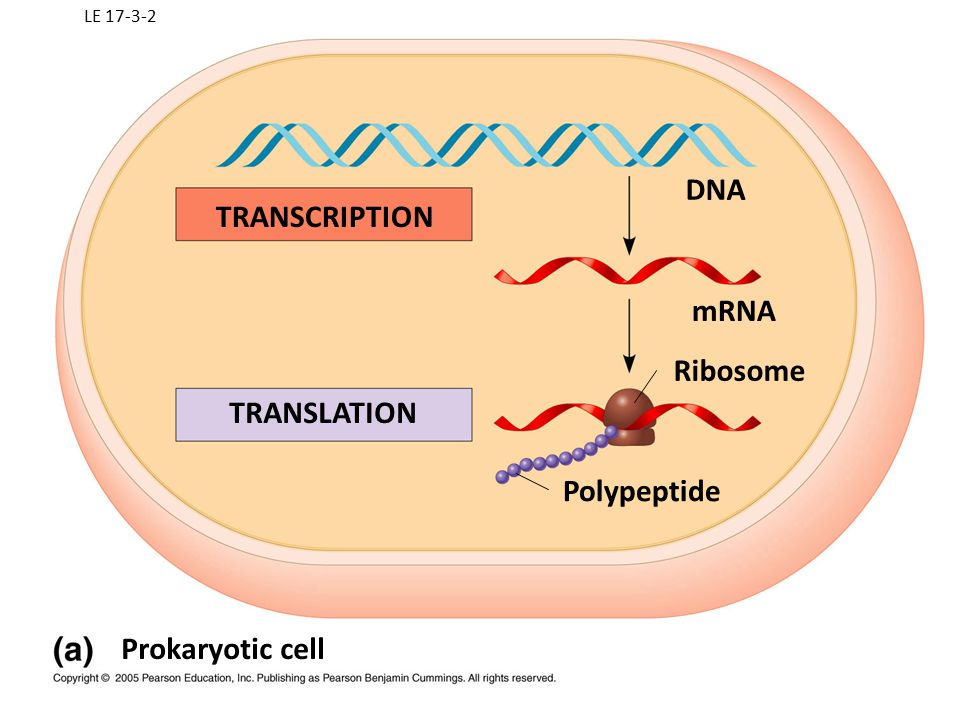 TRANSCRIPTION mRNA Ribosome TRANSLATION Polypeptide Prokaryotic cell