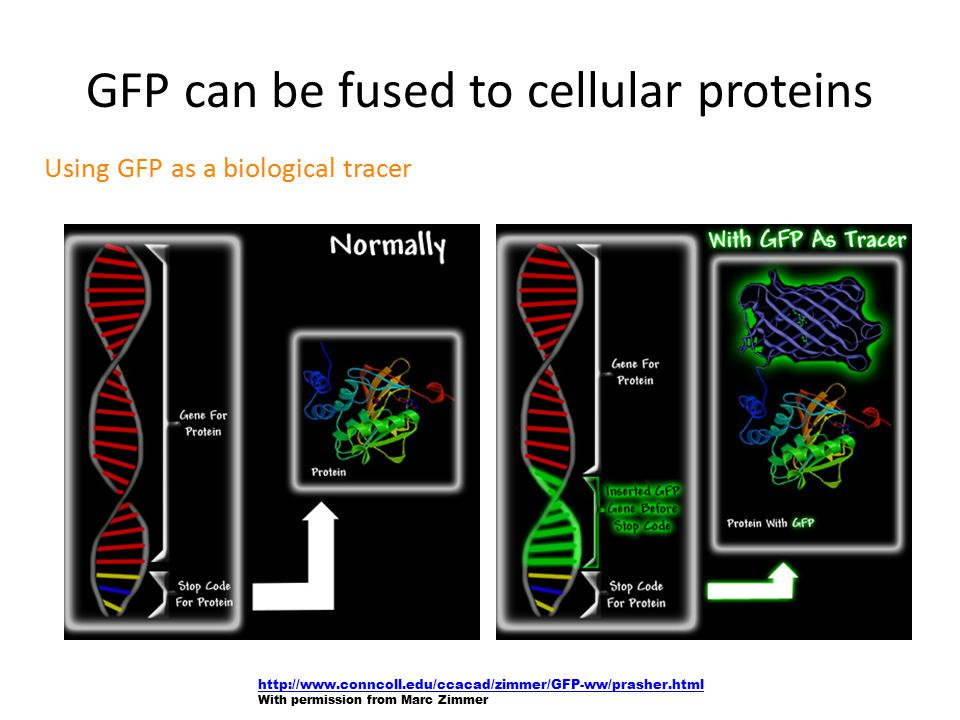 Using GFP as a biological tracer