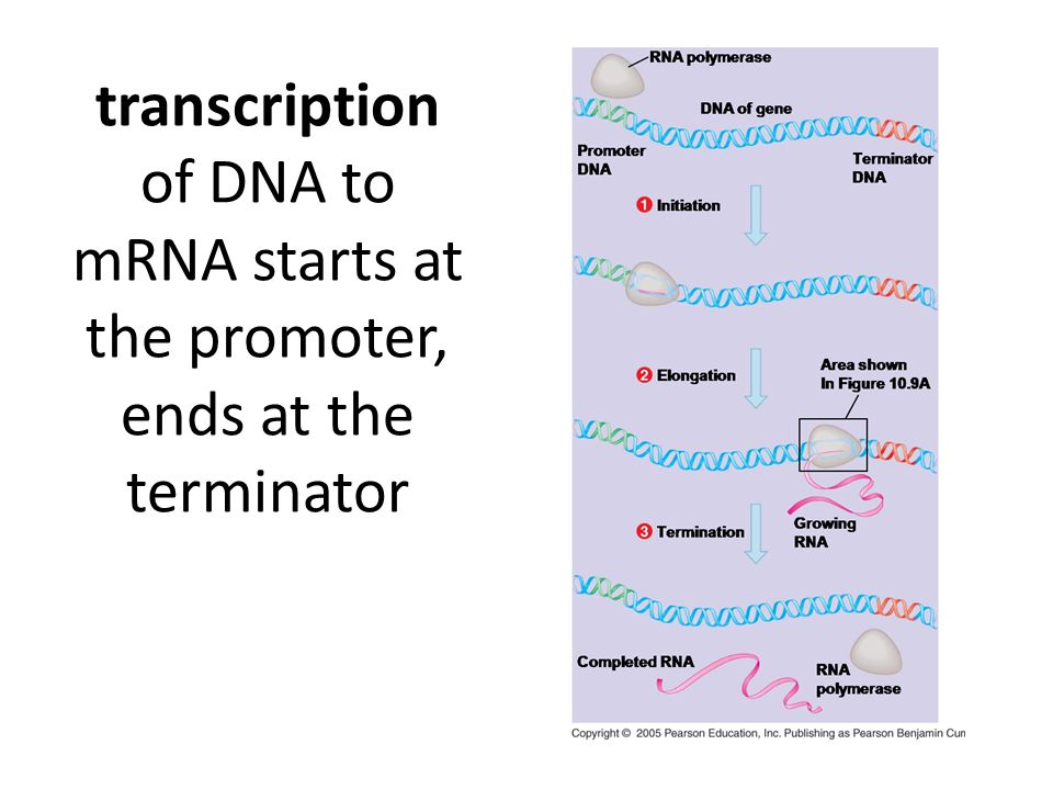 transcription of DNA to mRNA starts at the promoter, ends at the terminator