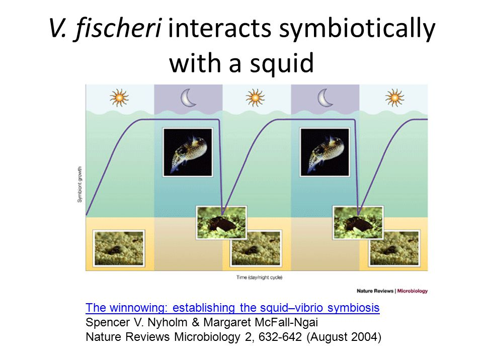 V. fischeri interacts symbiotically with a squid