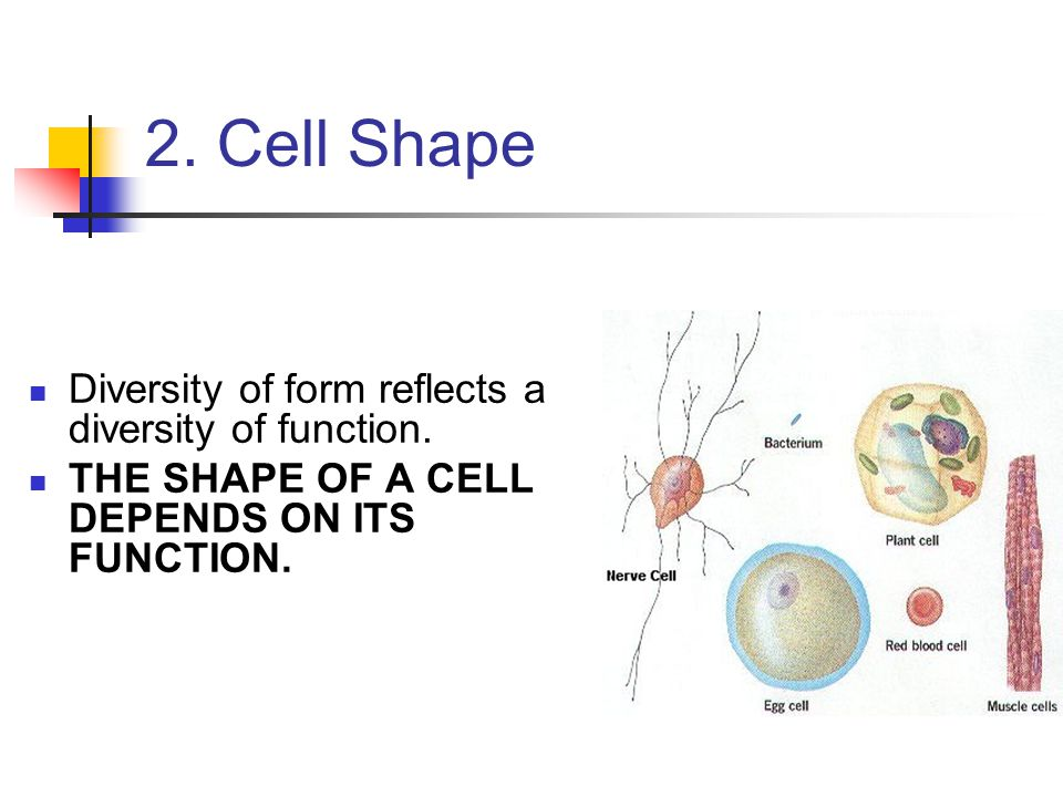 2. Cell Shape Diversity of form reflects a diversity of function.