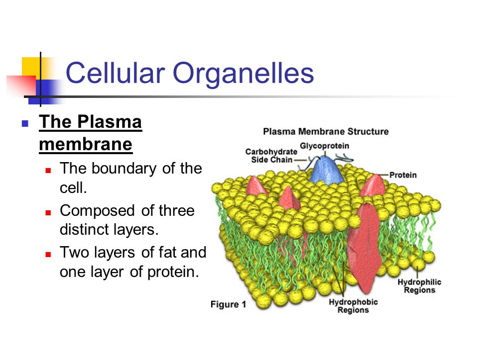Cellular Organelles The Plasma membrane The boundary of the cell.