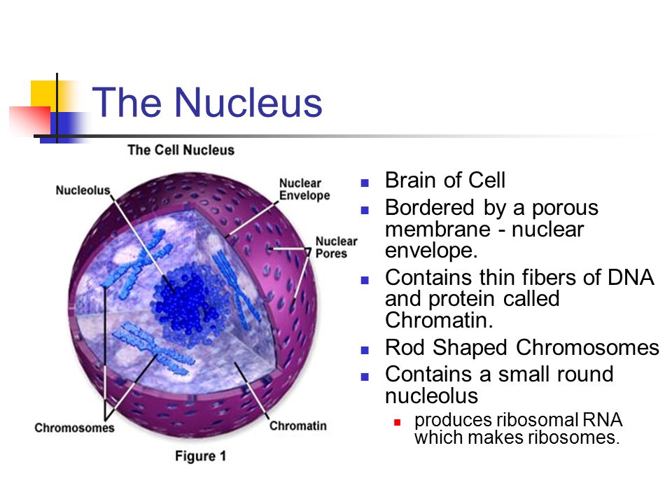 The Nucleus Brain of Cell