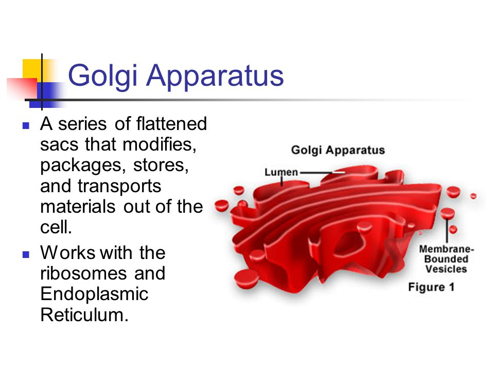 Golgi Apparatus A series of flattened sacs that modifies, packages, stores, and transports materials out of the cell.