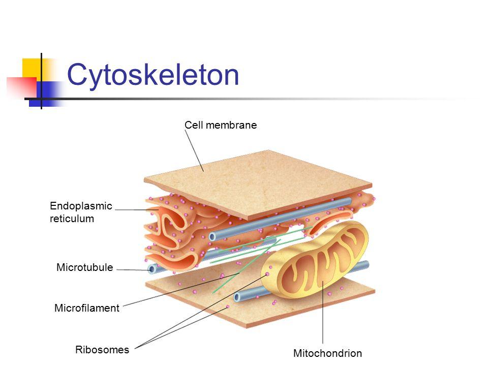 Cytoskeleton Cell membrane Endoplasmic reticulum Microtubule