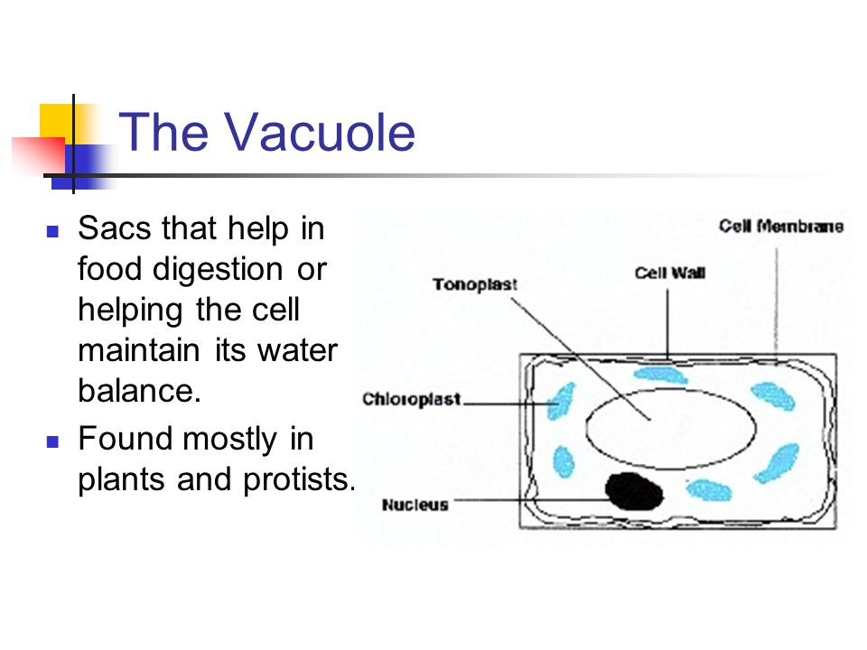 The Vacuole Sacs that help in food digestion or helping the cell maintain its water balance.
