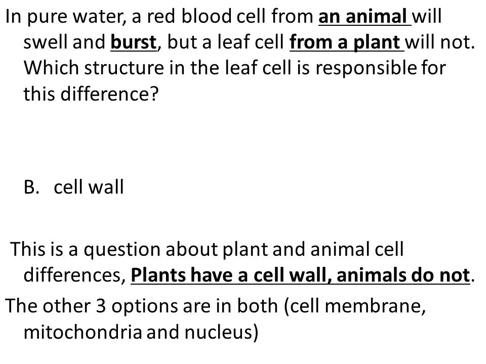 In pure water, a red blood cell from an animal will swell and burst, but a leaf cell from a plant will not.