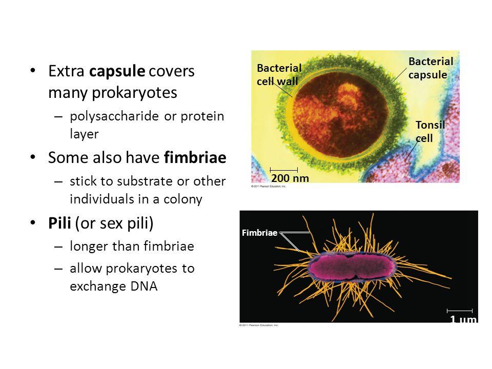 Extra capsule covers many prokaryotes