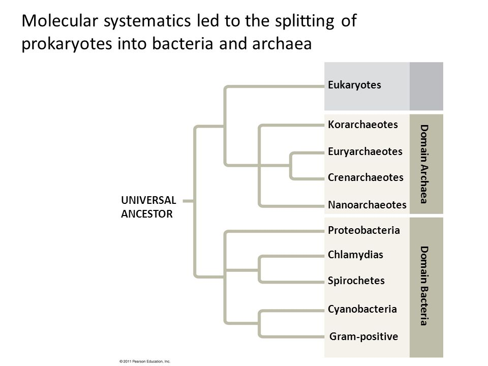Molecular systematics led to the splitting of prokaryotes into bacteria and archaea