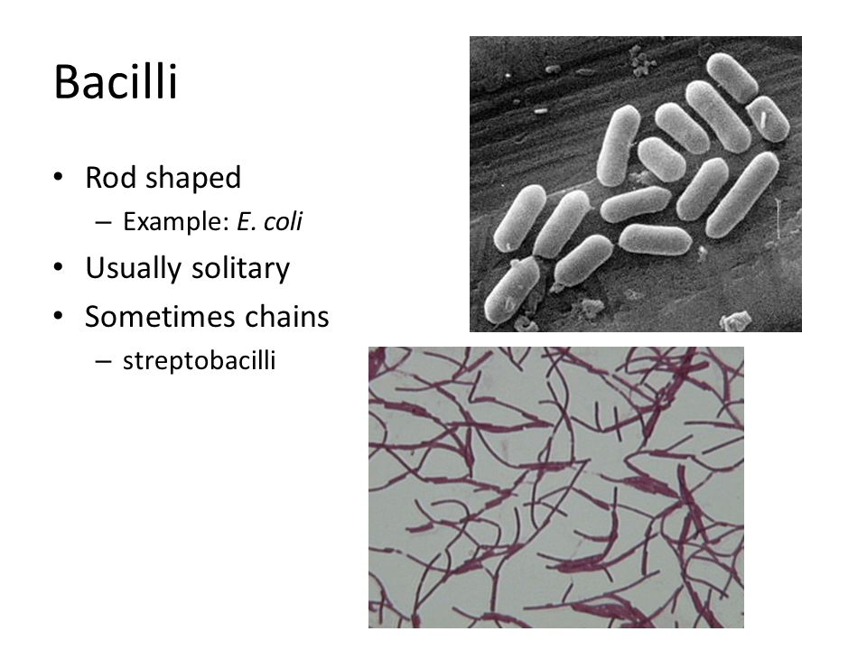 Bacilli Rod shaped Usually solitary Sometimes chains Example: E. coli