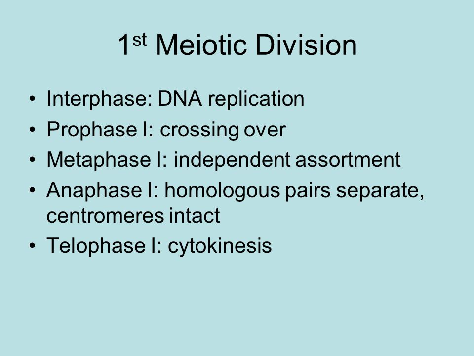 1st Meiotic Division Interphase: DNA replication