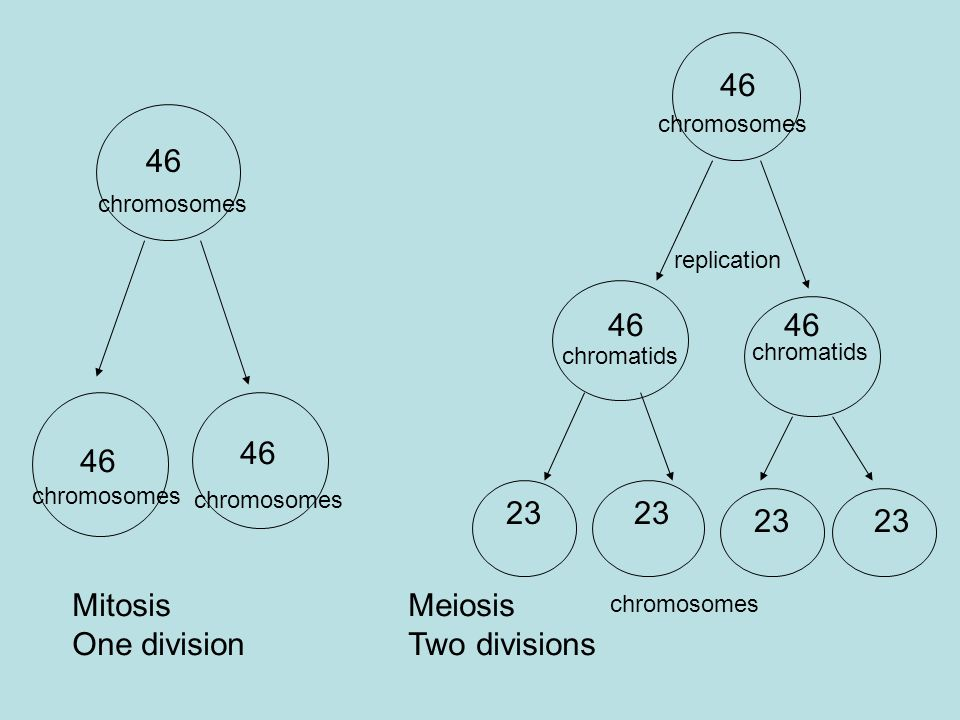 46 46 46 46 46 46 23 23 23 23 Mitosis One division Meiosis