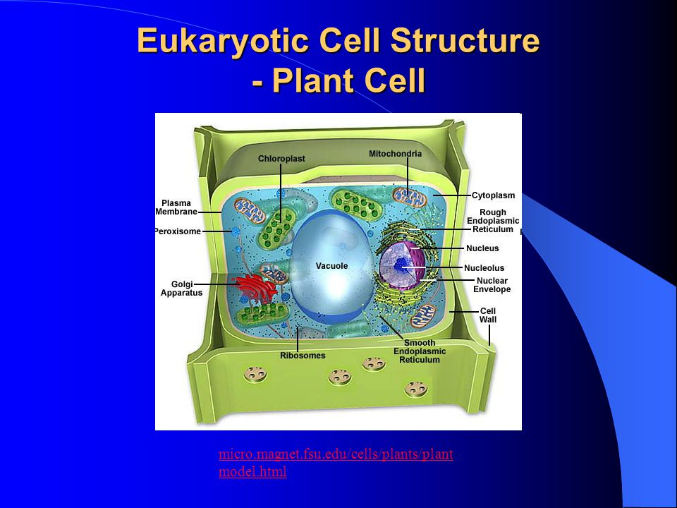 Eukaryotic Cell Structure - Plant Cell