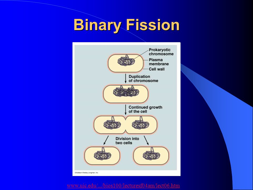 Binary Fission www.uic.edu/.../bios100/lecturesf04am/lect06.htm