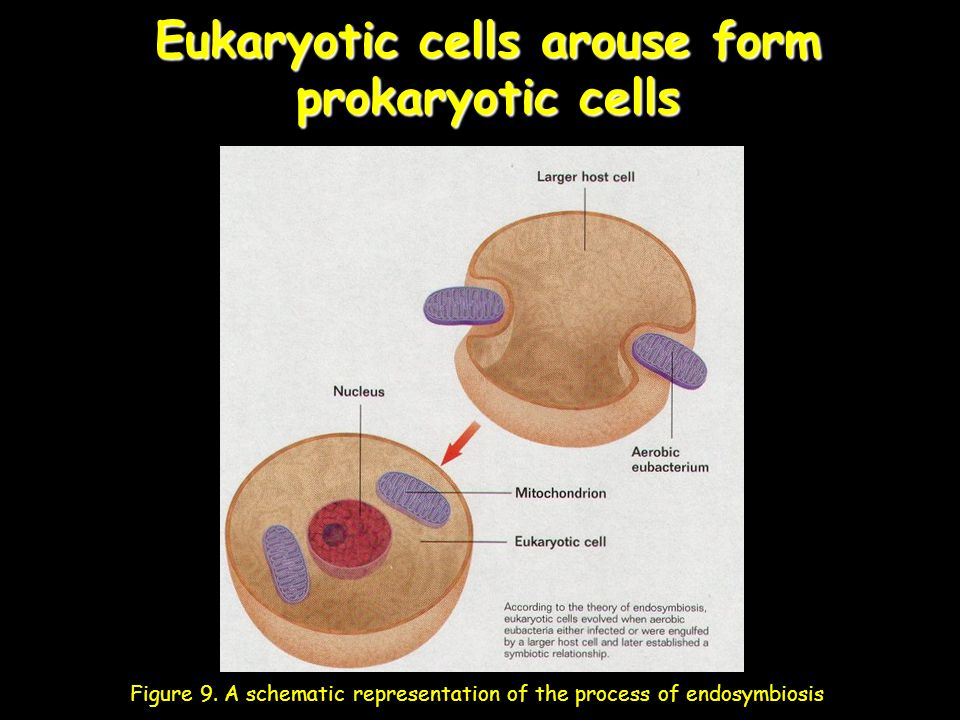 Eukaryotic cells arouse form prokaryotic cells