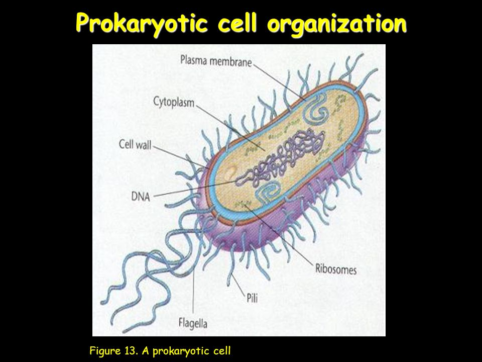 Prokaryotic cell organization