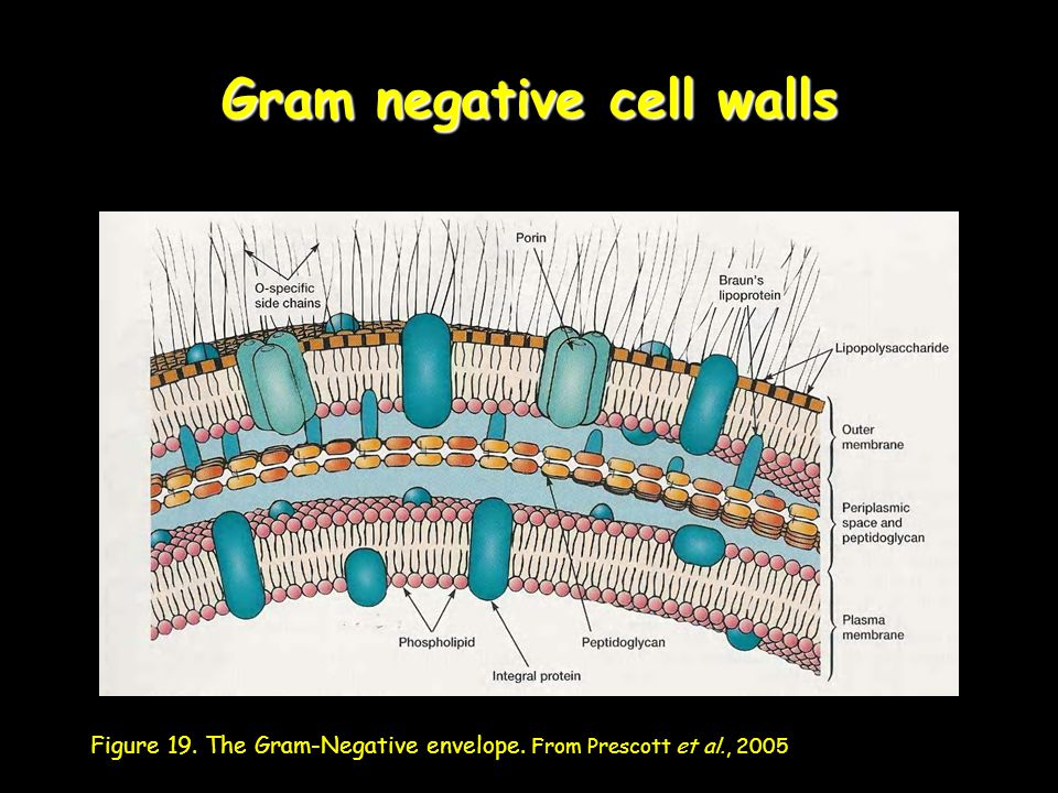 Gram negative cell walls