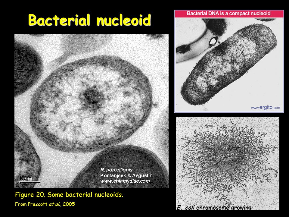 Bacterial nucleoid Figure 20. Some bacterial nucleoids.