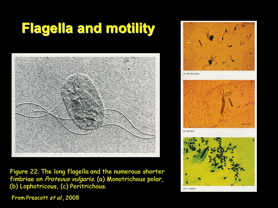 Flagella and motility