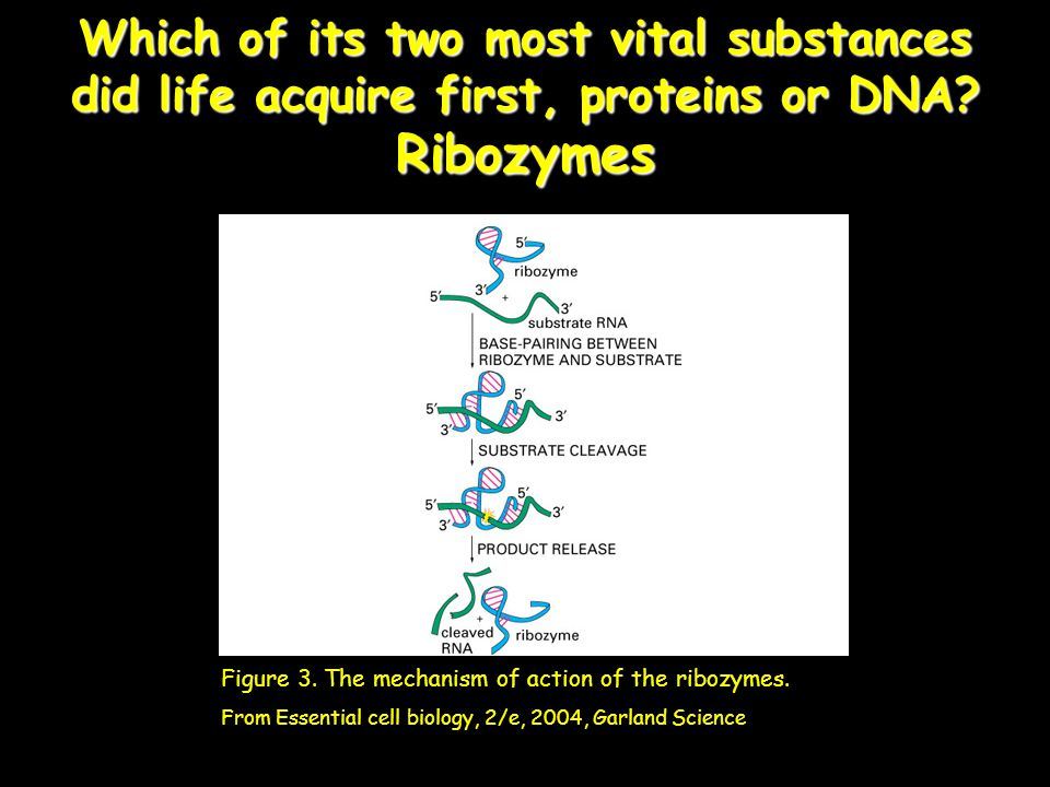 Which of its two most vital substances did life acquire first, proteins or DNA Ribozymes