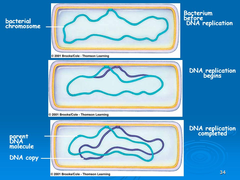 DNA replication begins DNA replication completed
