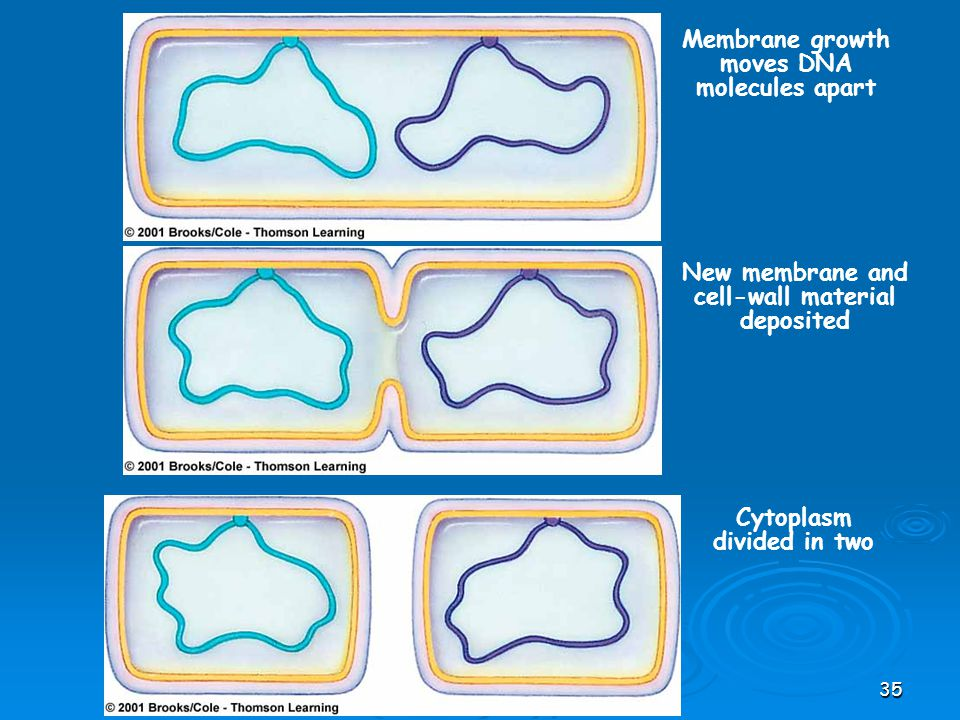 Membrane growth moves DNA molecules apart