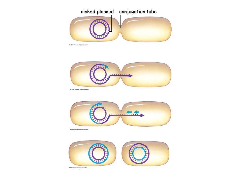 nicked plasmid conjugation tube