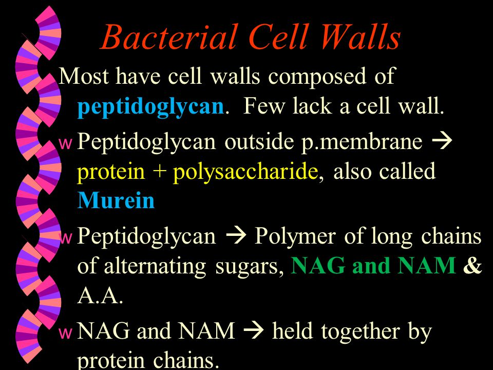 Bacterial Cell Walls Most have cell walls composed of peptidoglycan. Few lack a cell wall.