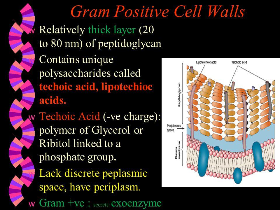 Gram Positive Cell Walls