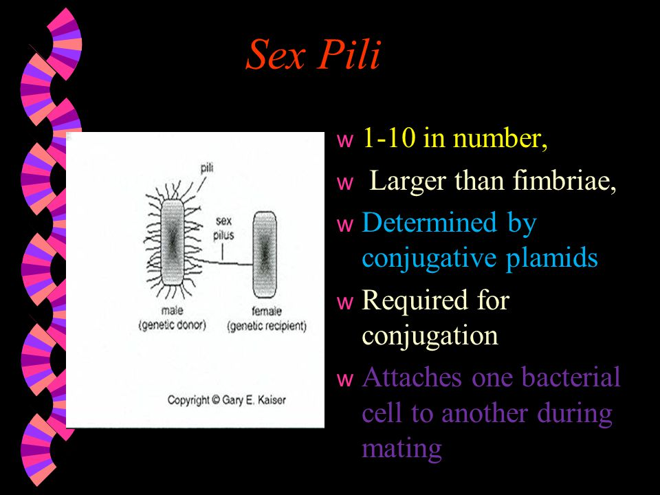 Sex Pili 1-10 in number, Larger than fimbriae,