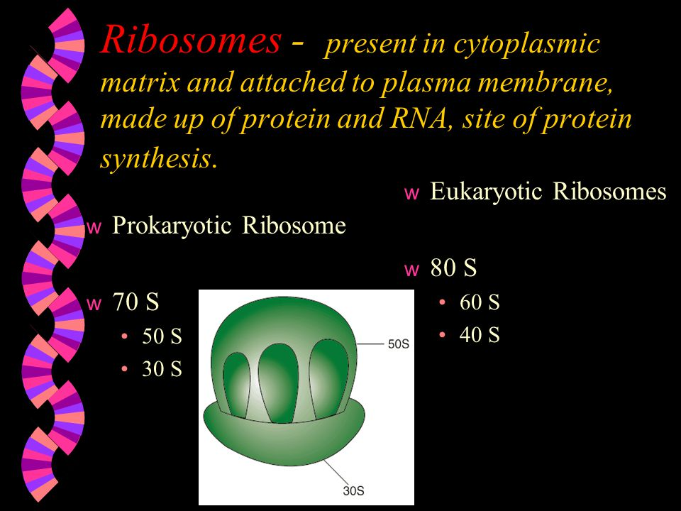 Ribosomes - present in cytoplasmic matrix and attached to plasma membrane, made up of protein and RNA, site of protein synthesis.