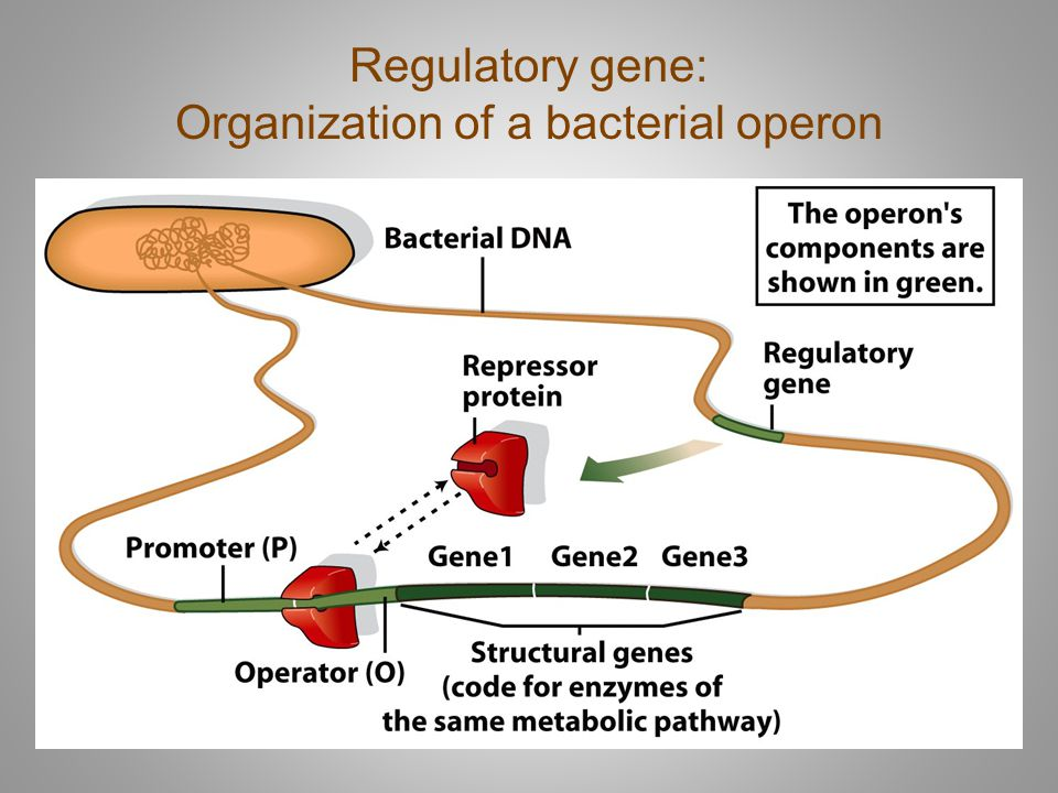 Regulatory gene: Organization of a bacterial operon