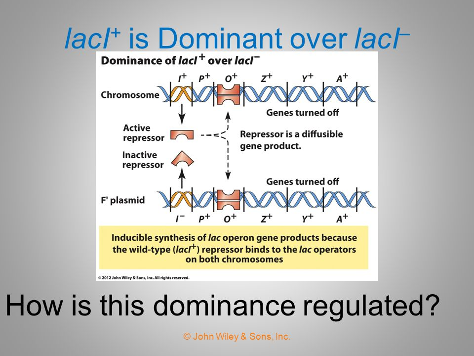 lacI+ is Dominant over lacI–
