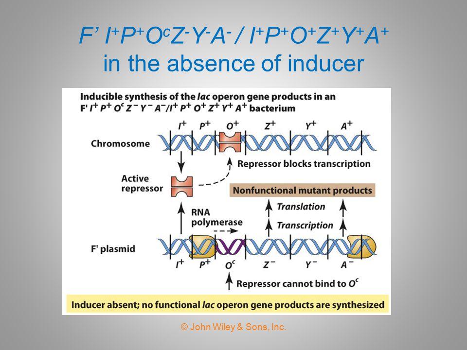 F' I+P+OcZ-Y-A- / I+P+O+Z+Y+A+ in the absence of inducer