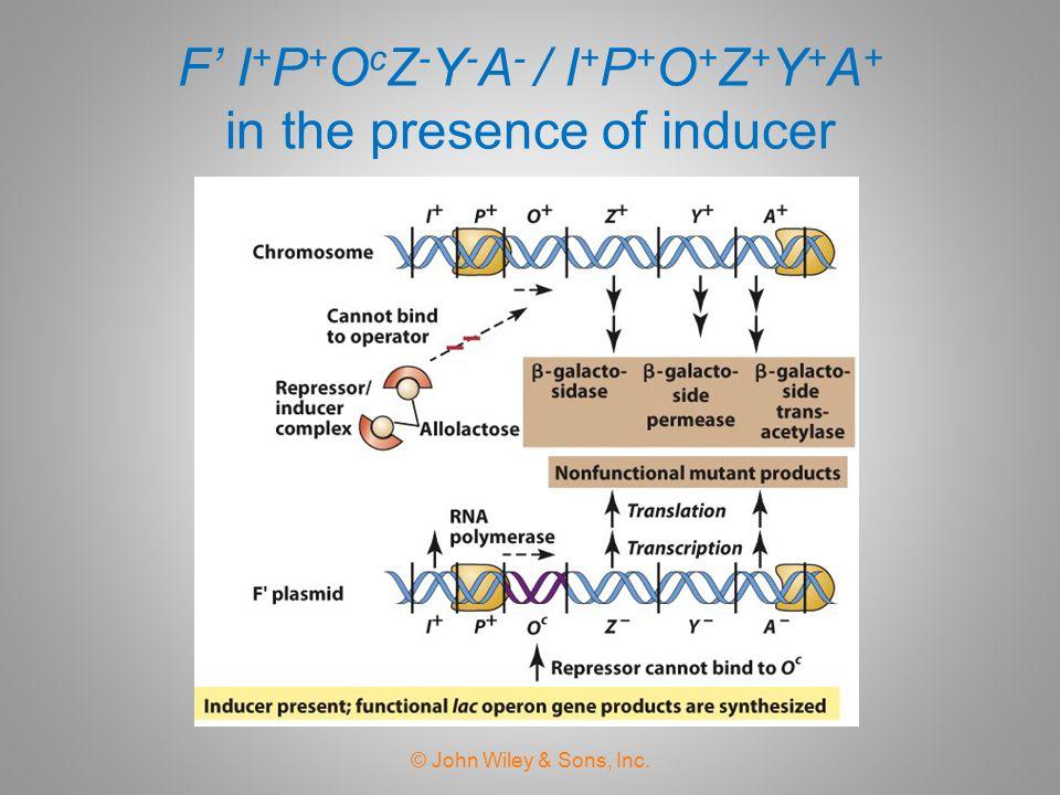 F' I+P+OcZ-Y-A- / I+P+O+Z+Y+A+ in the presence of inducer