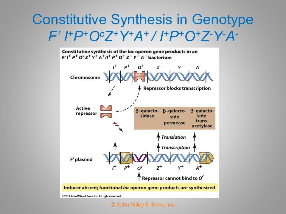 Constitutive Synthesis in Genotype F' I+P+OcZ+Y+A+ / I+P+O+Z-Y-A-